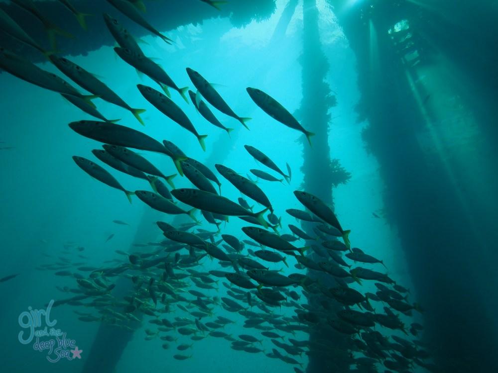 school of fish underwater Rapid Bay Jetty
