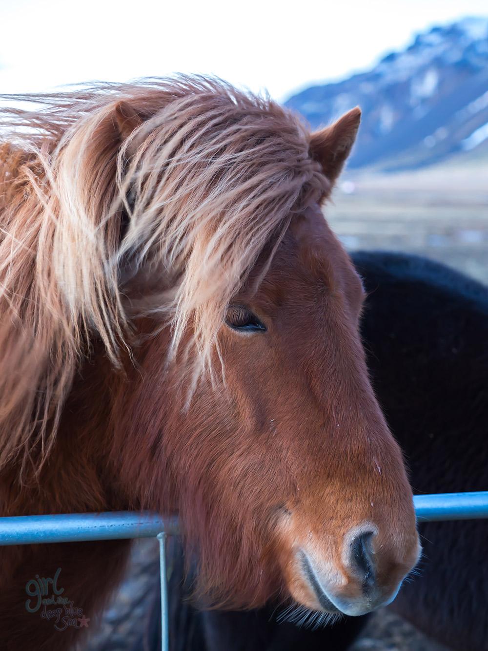 icelandic_pony2