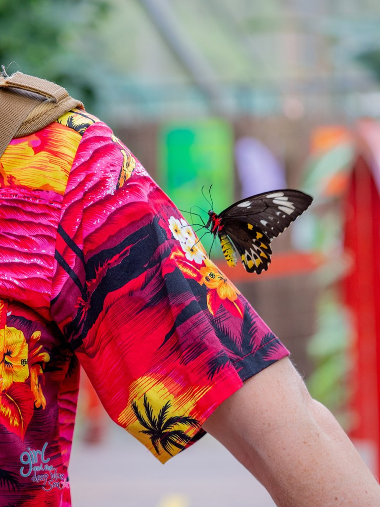 Cairns Birdwing Butterfly on a bright tropical shirt at the Australian Butterfly Sanctuary in tropical North Queensland
