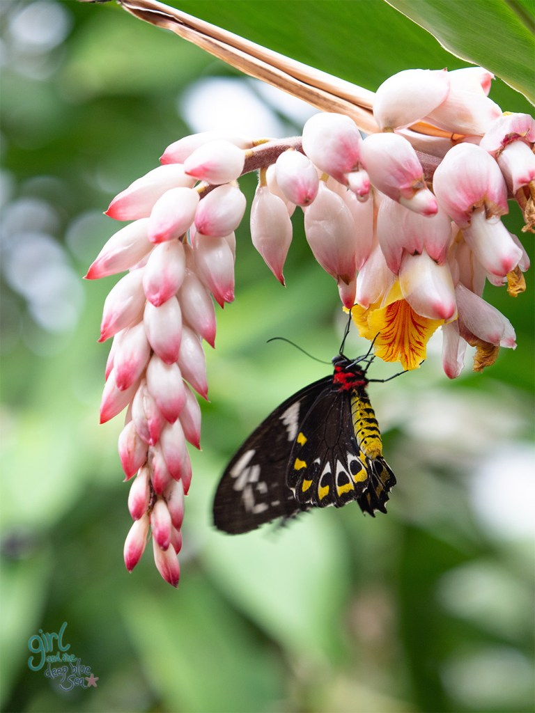 Cairns Birdwing Butterfly feeding on a drooping pink and white flower in tropical North Queensland