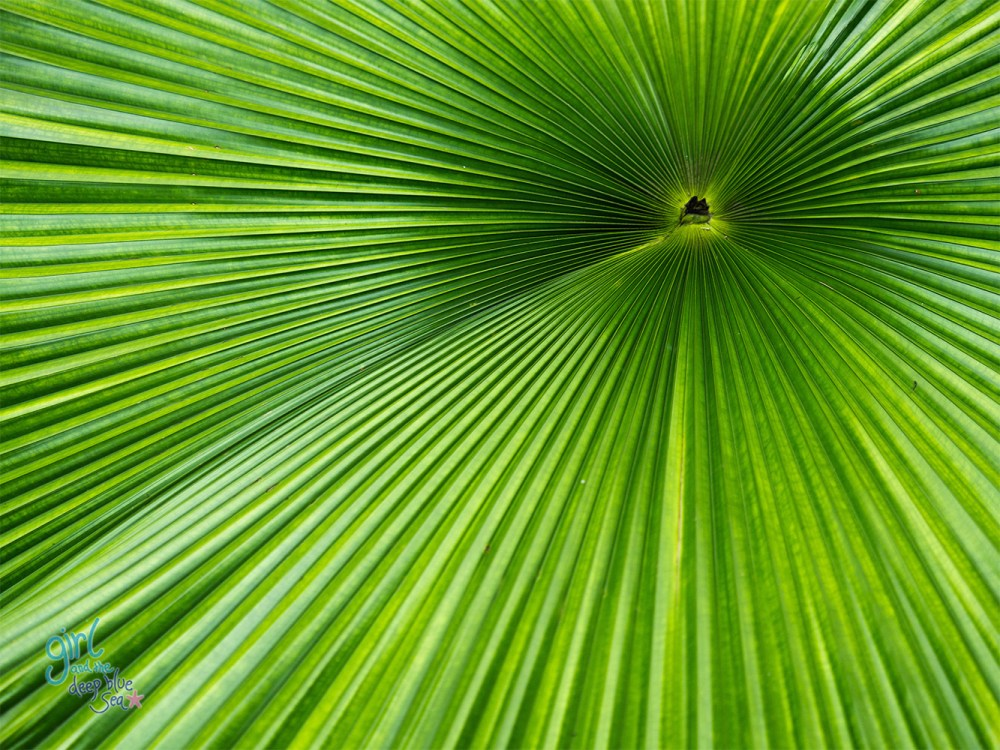 close up detail of a fan palm in tropical North Queensland