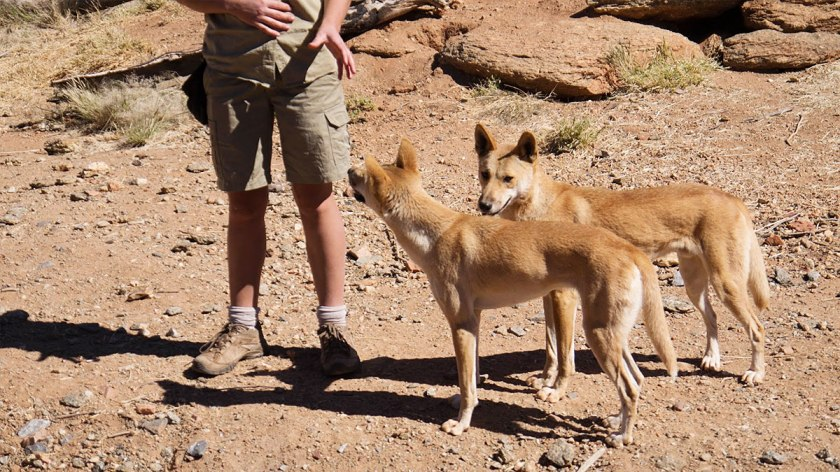 The two dingoes, taken with Lumix GF3