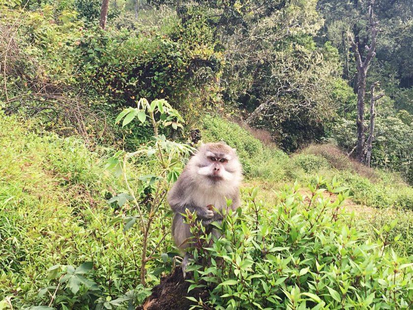 A grey monkey at Pos 3