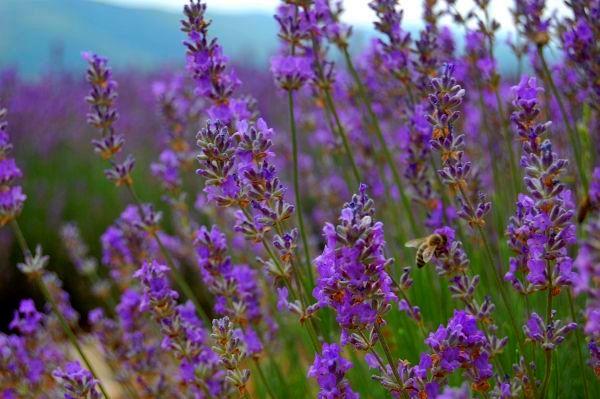 Lavender Fields of Provence - Provence Lavender Season