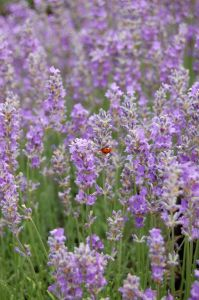 True Lavender (L x angustifolia)