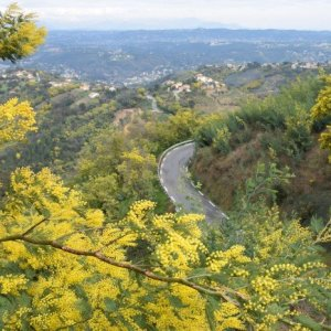 Mimosa Route Provence