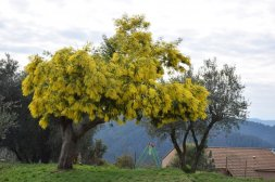 Mimosa Photo Gallery - Overhanging Tree in Bloom