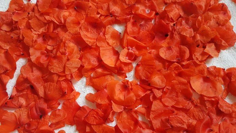 Coquelicot Red Poppy Petals