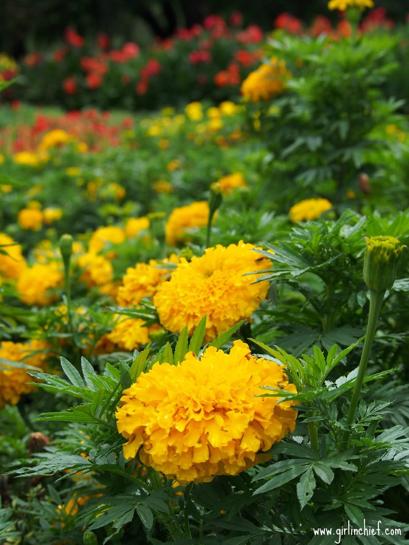 marigold-dallas-arboretum