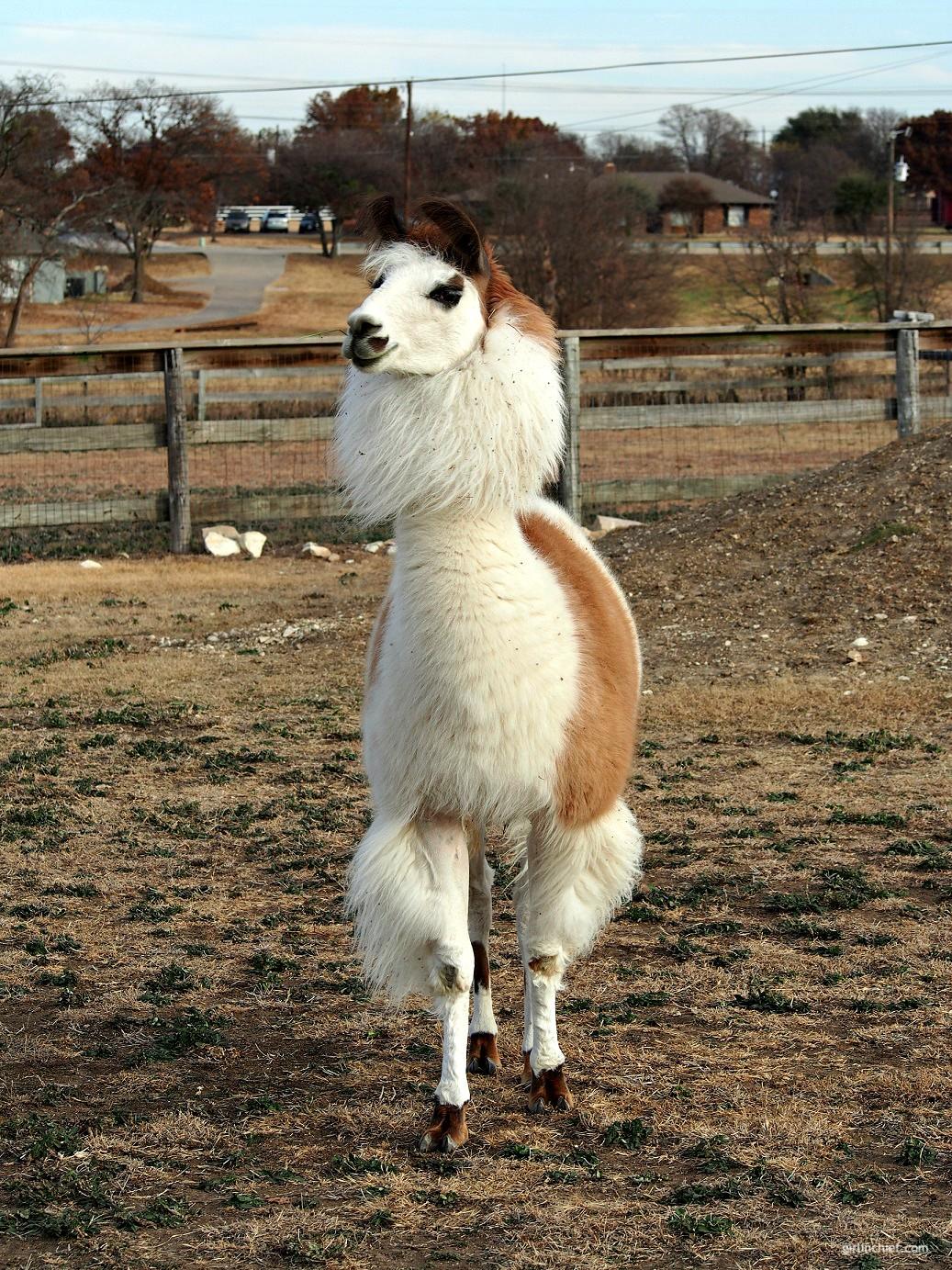 Must-do in Dallas: Llama Lessons at ShangriLlama