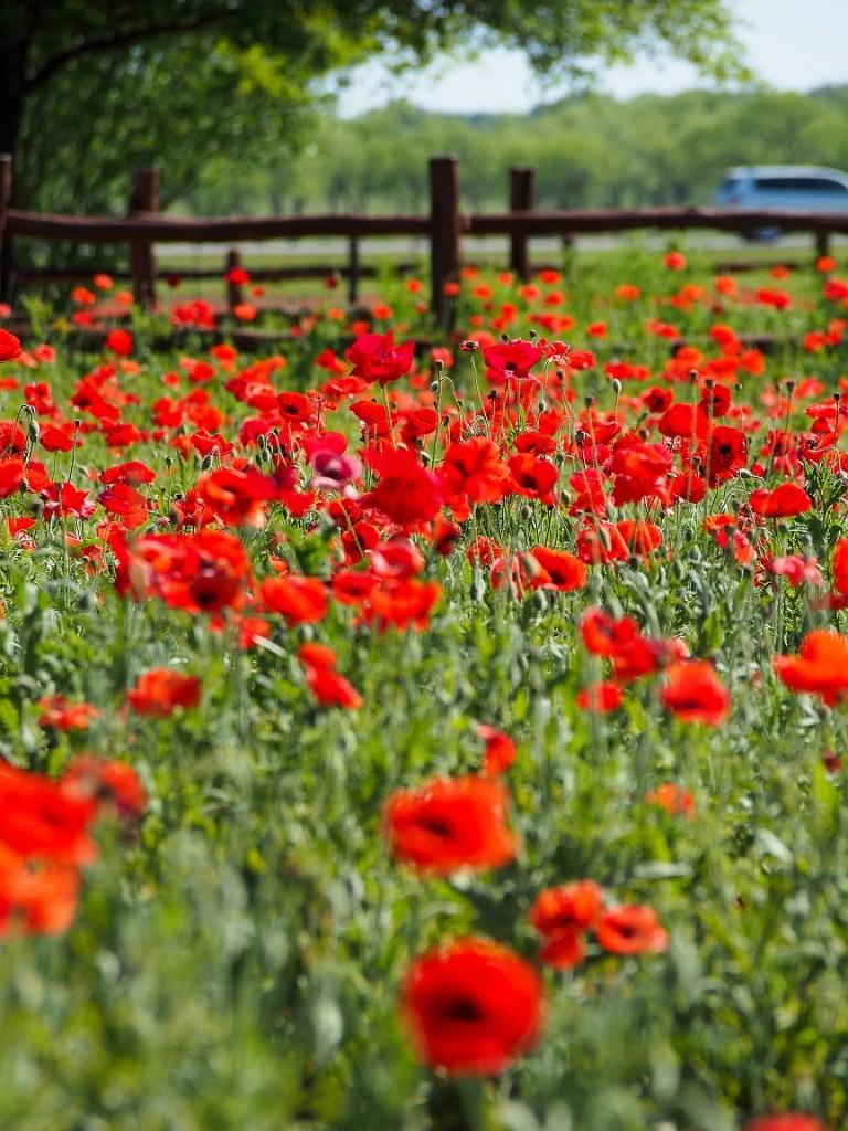 The Poppy Fields at Wildseed Farms, Fredericksburg TX | Girl