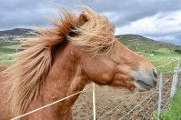Friendly Icelandic Horse