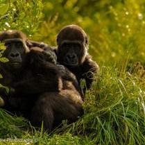 AF 3 Mountain Gorillas Rwanda
