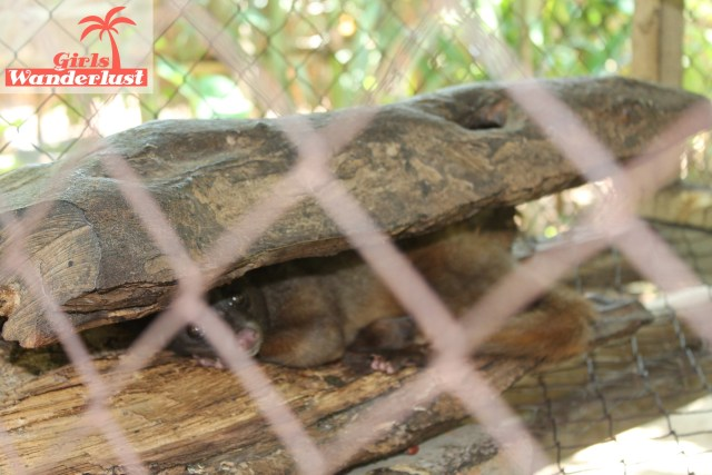 15 Harmful animal tourist attractions to avoid by Girlswanderlust - Civets