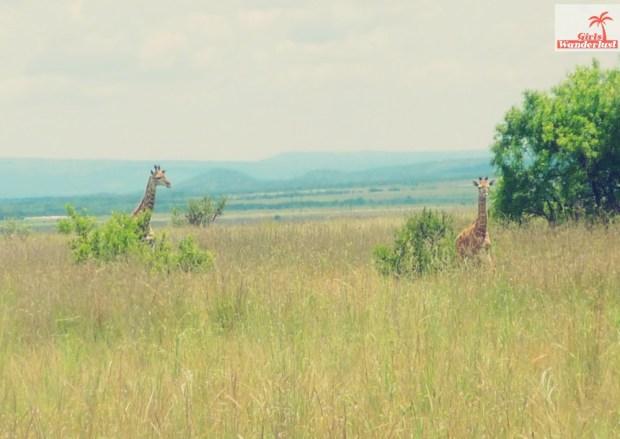 A visit to Pilanesberg National Park by @girlswanderlust #pilanesberg #southafrica #south #africa #girlswanderlust #safari #travel #travelblogger #nature #giraffe