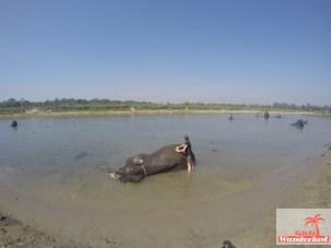 Elephant bathing.