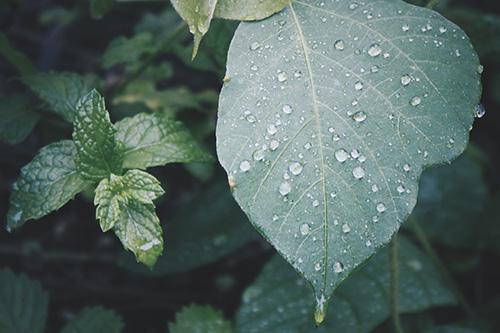 「しずく」「梅雨」「植物」「雨」などがテーマのフリー写真画像