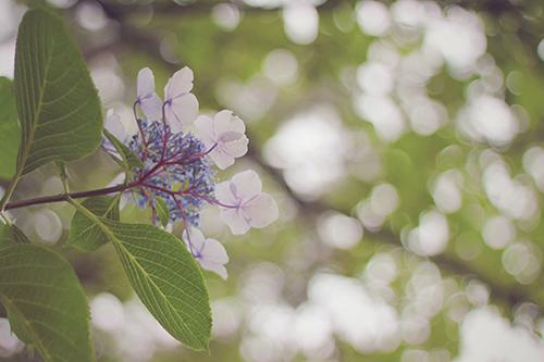 「傘」「女性・女の子」「巻き髪」「梅雨」「紫陽花」「花」「雨」などがテーマのフリー写真画像