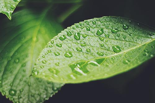 「しずく」「梅雨」「植物」「紫陽花」などがテーマのフリー写真画像