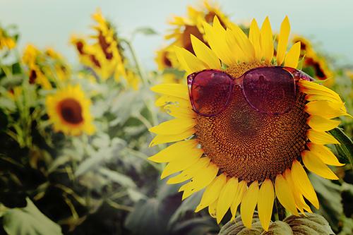 「サングラス」「ひまわり」「夏」「花」などがテーマのフリー写真画像