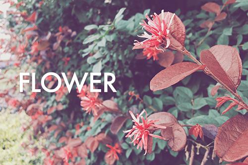 「トキワマンサク」「文字入り」「植物」「花」などがテーマのフリー写真画像