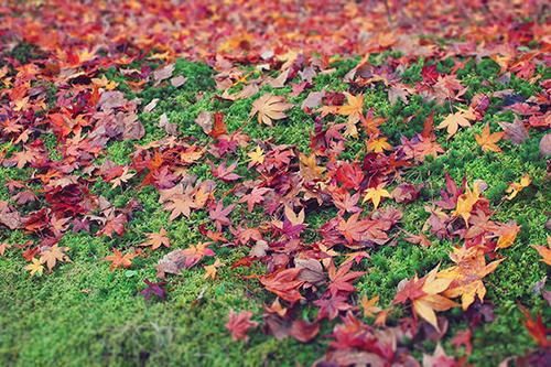 「モミジ」「植物」「秋」「紅葉」「芝生」「落ち葉」などがテーマのフリー写真画像