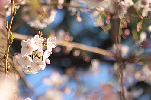 フリー写真素材:キレイな青空に映える桜の花