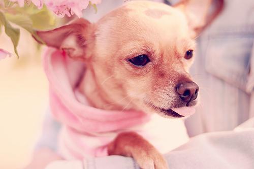 「チワワ」「ミニチュアピンシャー」「春」「桜」「犬」などがテーマのフリー写真画像