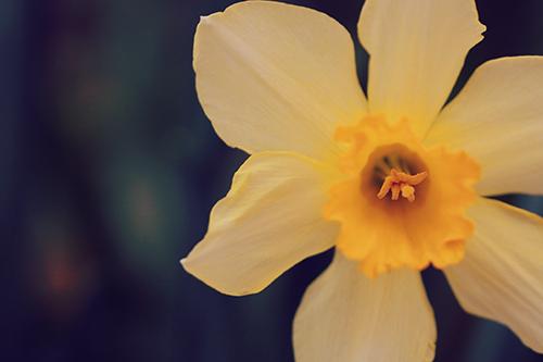 「マクロ」「春」「水仙」「花」などがテーマのフリー写真画像
