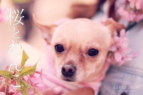これは可愛すぎる♡チワワとミニチュアピンシャーのミックス犬『べべ』ちゃんの春のフリー写真画像をリリースしたよ!