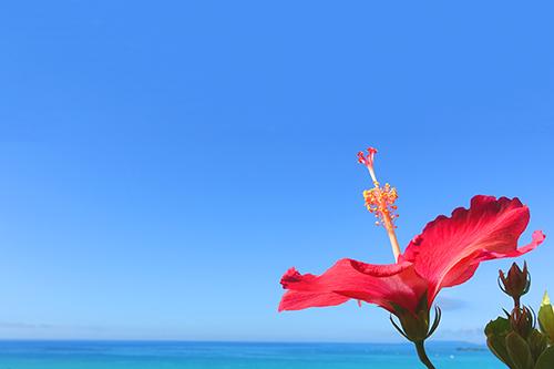 「ハイビスカス」「夏」「海」「花」などがテーマのフリー写真画像
