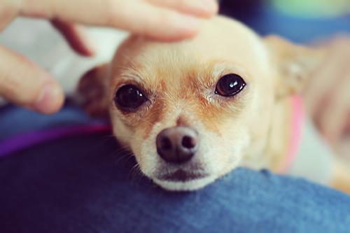 「チワワ」「ピンシャー」「犬」などがテーマのフリー写真画像