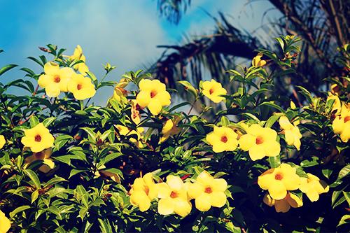 「オオバナアリアケカズラ」「ハイビスカス」「リゾート」「夏」「花」などがテーマのフリー写真画像