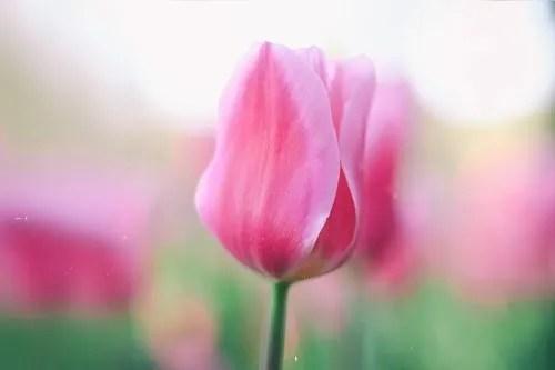 「チューリップ」「春」「植物」「花」「花畑」などがテーマのフリー写真画像