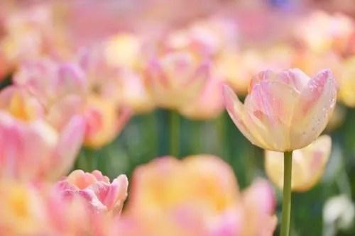 「チューリップ」「春」「植物」「花」「花畑」「雫」などがテーマのフリー写真画像