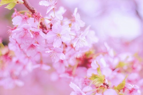 フリー写真素材:まだ寒い朝方にも凛々しく咲いている桜の花