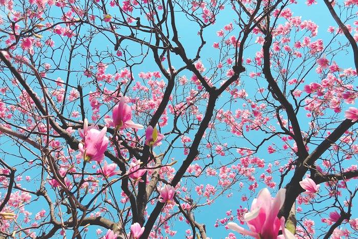 「モクレン」「女性・女の子」「春」「植物」「花」などがテーマのフリー写真画像