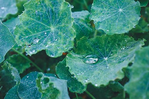 フリー写真素材:雨上がりのみずみずしい葉っぱ