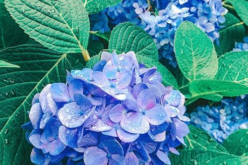 フリー写真素材:可憐に花開いた青色の紫陽花