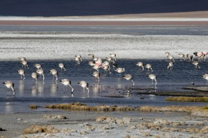 bolivie10-flamants