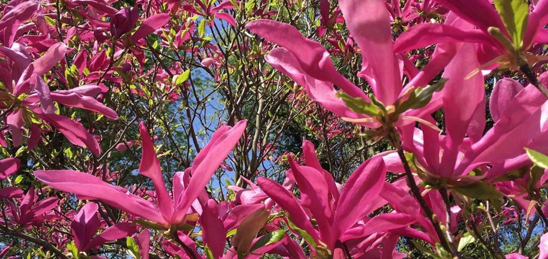 Giselheid Schulz-Ëberlin, Autorin, Eigen-Sinn-Coach, Lebensbegleitung, Magnolienblüte im botanischen Garten, W wie Wiederholung