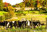 Cows, Argyle, New York