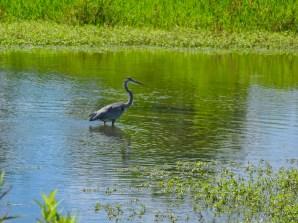 Blue Heron, Beckley Creek Park
