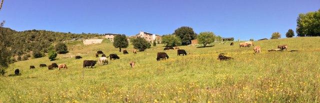 Photo du Domaine Rouretord avec nos vaches Galloway au premier plan.