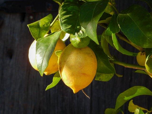 Photographie des Citron bio du Domaine Rouretord