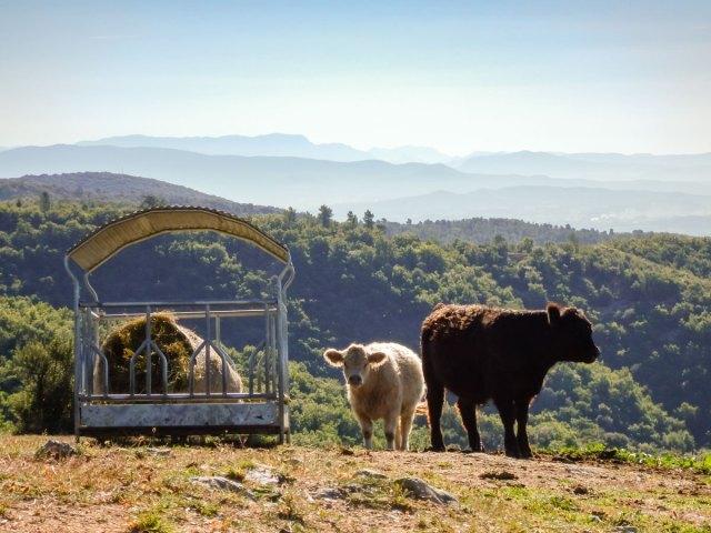 Photo de deux veaux, jeune Galloways sur l'élevage du Domaine Rouretord.