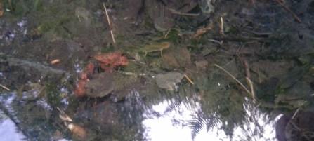Découverte d'un petit biotope avec nénuphars et amphibiens