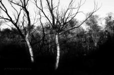 Két száraz fa, Selyemrét