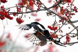 Bob Hallinen/Anchorage Daily News A magpie takes flight from a Mountain Ash tree after feeding on the berries. 021108