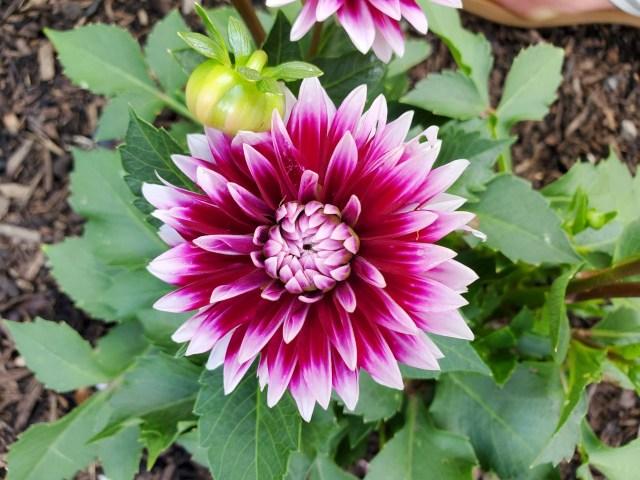 Magenta Dahlia Flower in my Chicago Garden